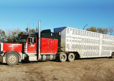 High Grade Cattle Semi